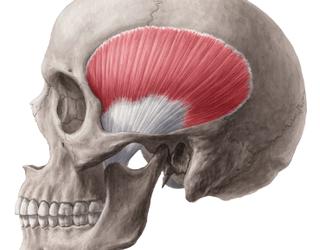 El músculo temporal